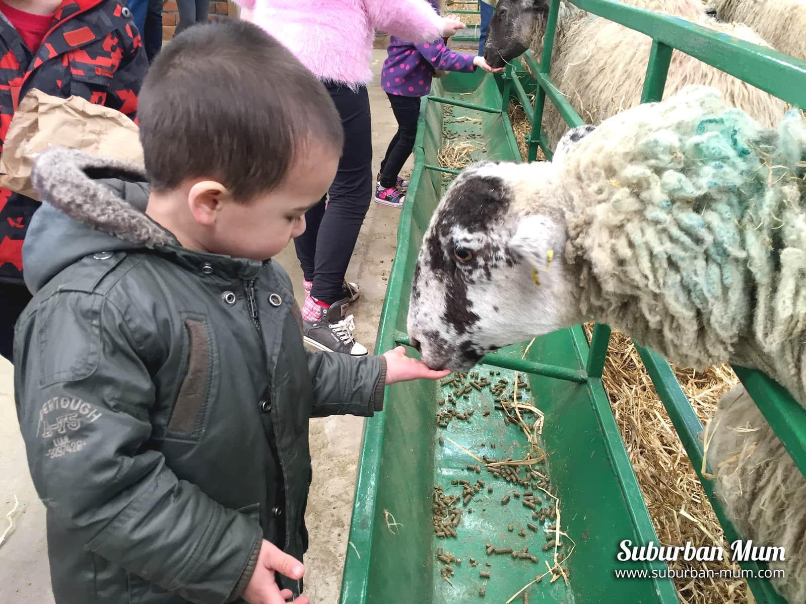 m-feeding-sheep