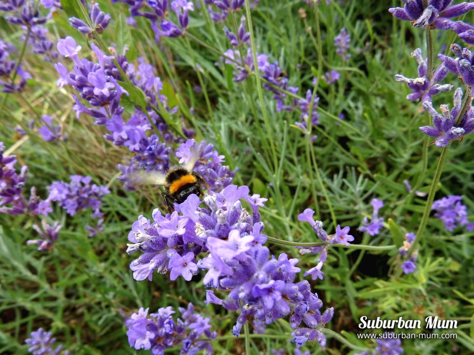 bee-mayfield-lavender