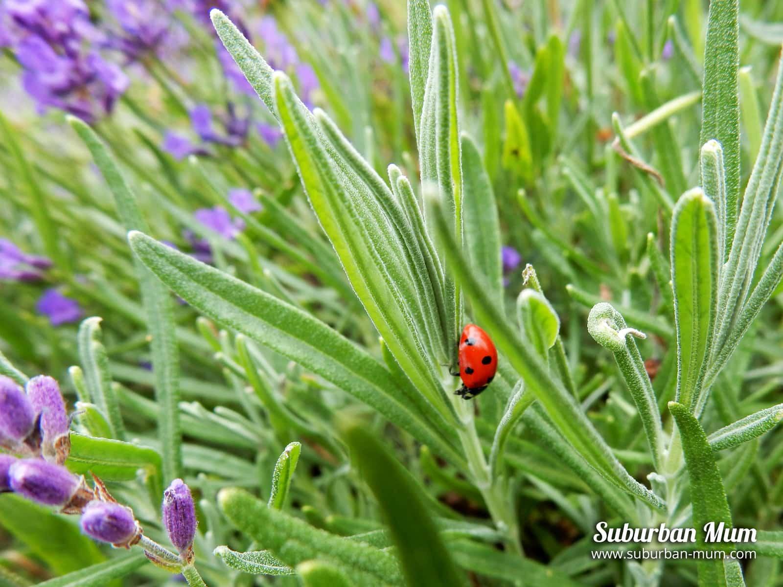 ladybird-lavender-field