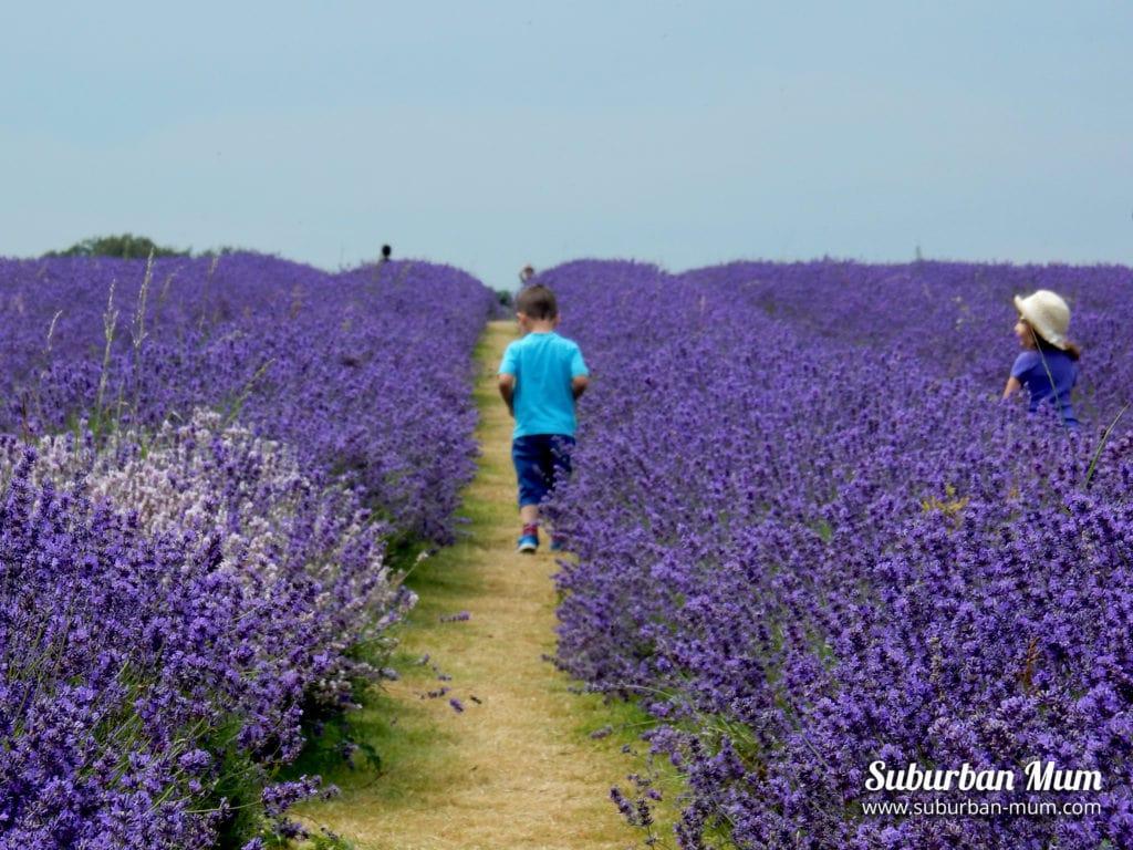 m-mayfield-lavender