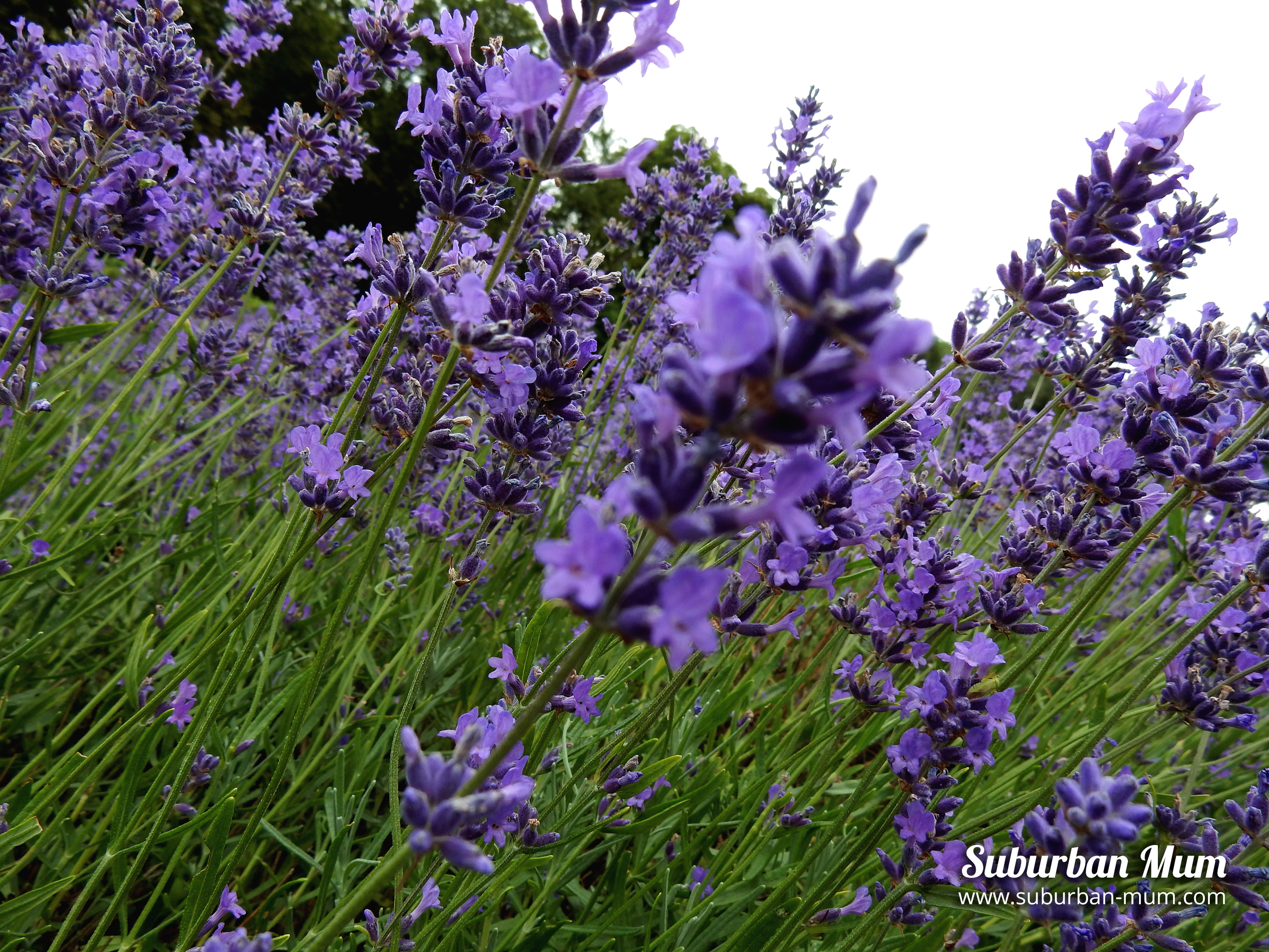 mayfield-lavender-close-up