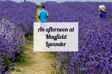 mayfield-lavender-text