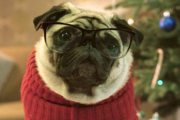 gizmo-the-pug