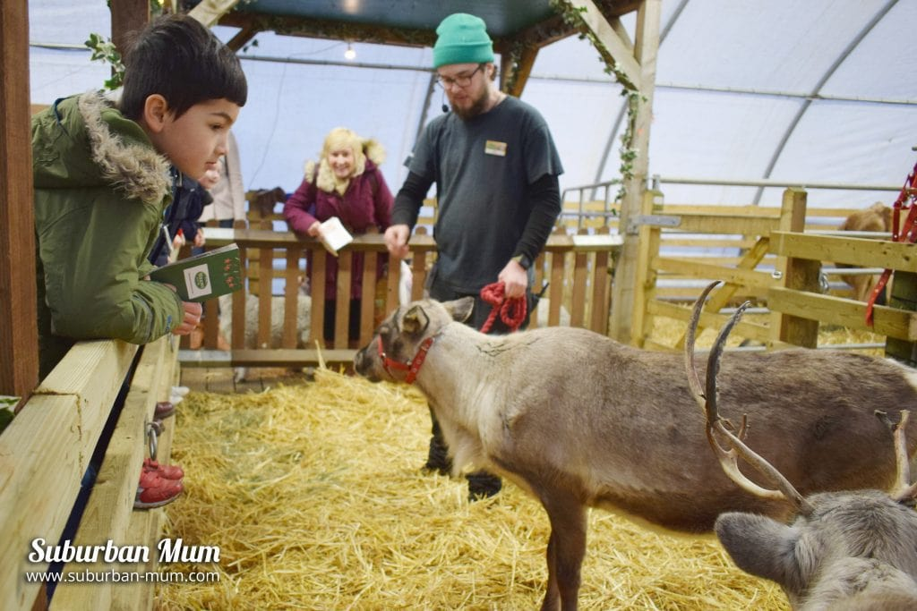 willows-farm-reindeer