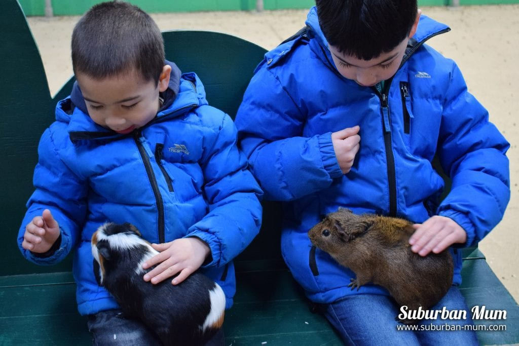 guinea-pigs-willows-activity-farm