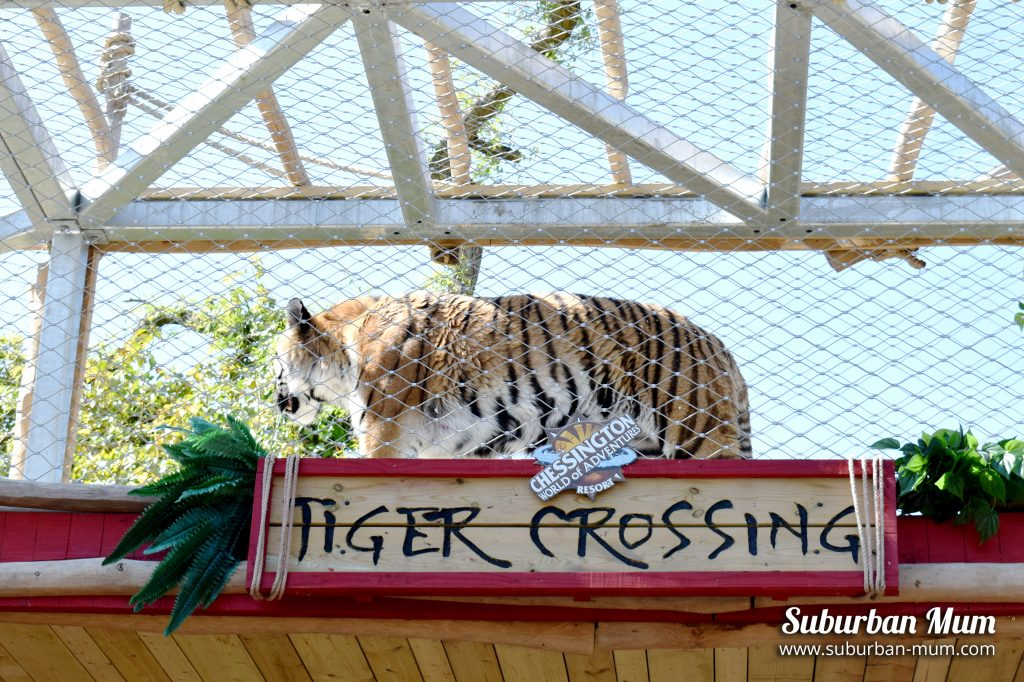 chessington-tiger-crossin