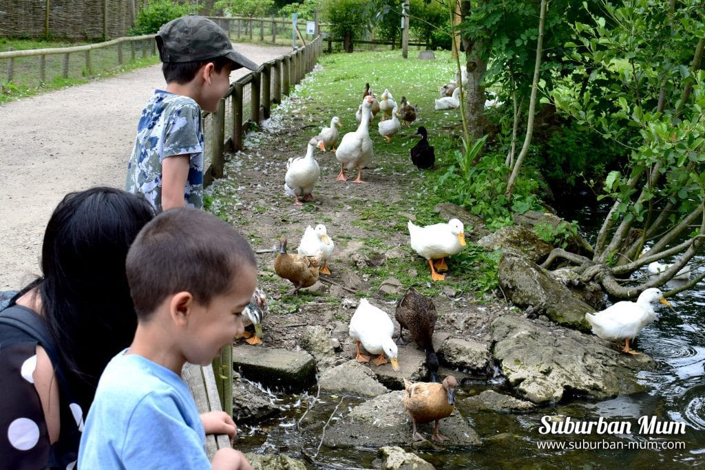 godstone-farm-ducks