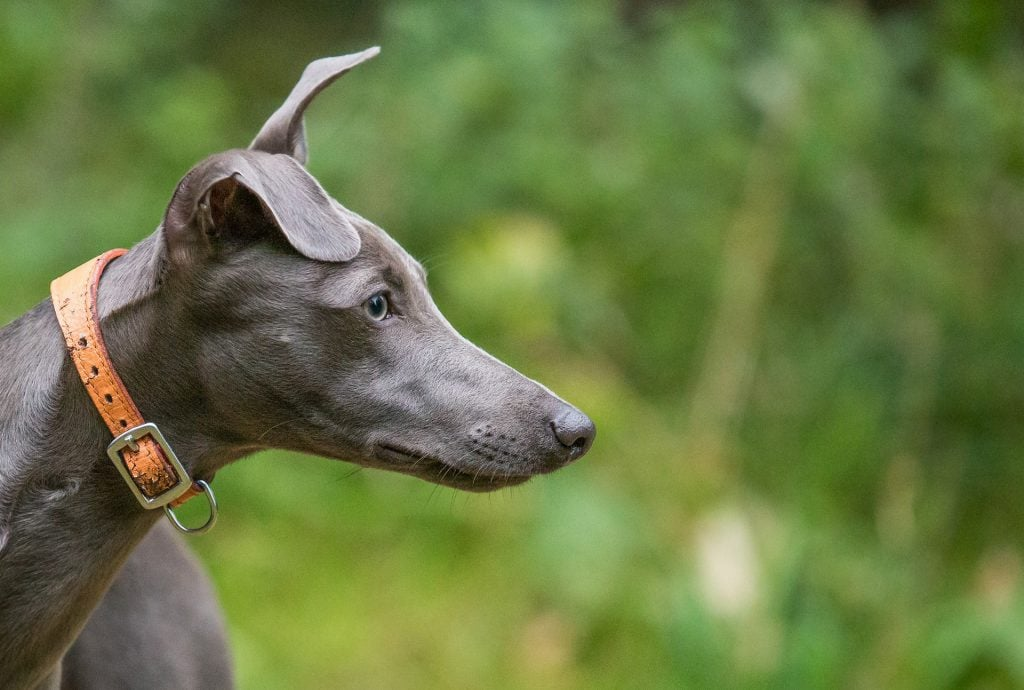 child-friendly dog breed - whippet