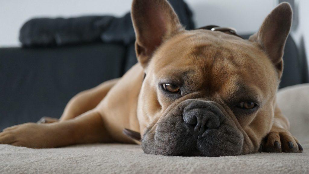 sleepy-french-bulldog