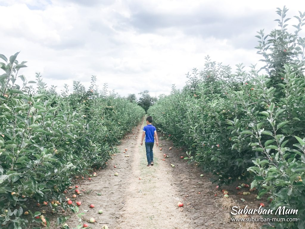 m-picking-apples-garsons-farm